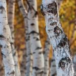 植物生长素受体TIR1的同源物(PagFBL1)可通过与Aux/IAA28互作调控杨树不定根的生长