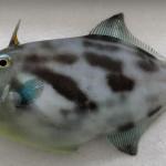 【项目案例】MER | Nanopore完成首个超高质量海洋鱼类基因组
