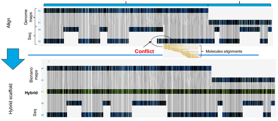 Bionano检测并纠正序列中的错误装配后将NGS contigs定向成超长scaffold