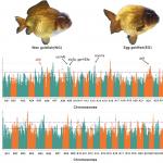 PNAS百迈客合作文章|金鱼的进化起源和驯化史