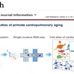 snRNA-seq|首个灵长类动物心肺的单细胞转录组图谱 揭示新冠易感人群