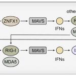 合作文章|Nat Cell Biol|线粒体定位的ZNFX1充当dsRNA传感器通过MAVS启动抗病毒反应